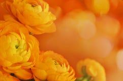 与毛茛属花的花卉壁角安排 图库摄影