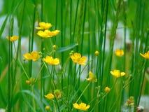 与毛茛的一朵装饰背景纹理美好的领域野花的宏观照片 免版税库存图片