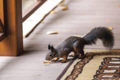 与毛茸的尾巴的灰鼠嗅在游廊的黄色叶子 库存图片
