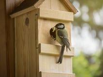 与毛虫的伟大的山雀在巢箱的额嘴哺养的年轻人 免版税库存图片