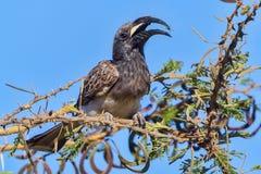 与毛虫的公非洲人般的灰色犀鸟 免版税库存照片