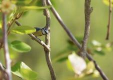 与毛虫的蓝冠山雀 免版税库存照片