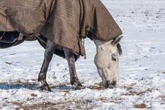 与毯子的马吃草在一个多雪的牧场地的 免版税库存照片