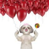 与气球和棒棒糖的逗人喜爱的shitzu狗 免版税库存图片