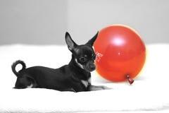 与气球的狗 库存图片