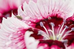 与水下落和昆虫的桃红色花 图库摄影
