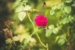 与水下落的五颜六色的玫瑰 库存图片