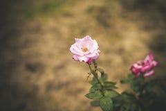 与水下落的五颜六色的玫瑰 免版税库存照片