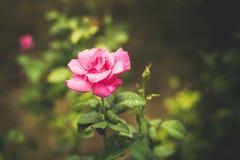 与水下落的五颜六色的玫瑰 免版税图库摄影