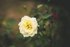 与水下落的五颜六色的玫瑰 图库摄影