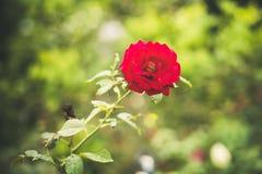 与水下落的五颜六色的玫瑰 库存照片