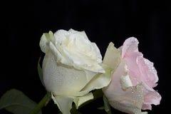 与水下落的美丽的五颜六色的玫瑰关闭  免版税库存照片