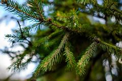 与水下落的针叶树分支 免版税库存图片