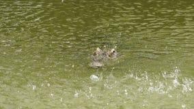 与水下落的鳄鱼 股票视频