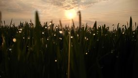与水下落露水和种田日出日落早晨的Natuars震动绿草 免版税库存照片