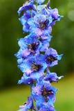 与水发光的滴的新鲜的庭院翠雀花在雨以后的,垂直 免版税库存图片