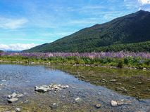 与水方式反射的羽扇豆开花自然领域有山背景 库存图片