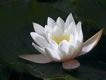 与水滴的一个迷人的白色水百合在花叶子的在阳光下闪烁 免版税库存照片