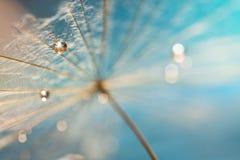 与水滴的一颗蒲公英种子在柔和的蓝色背景的 有选择性的软的焦点 免版税图库摄影