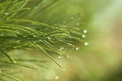 与水滴的云杉的树针反对绿色背景 免版税图库摄影