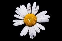 与水滴的共同的雏菊  免版税库存照片