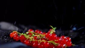 与水滴的成熟无核小葡萄干莓果移动反对黑背景 股票视频
