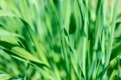 与水滴的新鲜的绿草在阳光下 免版税库存图片