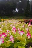 与水滴的桃红色和白花在一个花园,五颜六色的花园背景的 免版税库存照片
