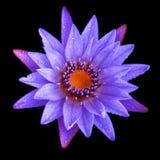 与水滴的紫色莲花 库存照片