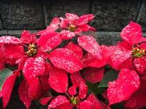 与水滴的红色圣诞节花一品红 图库摄影