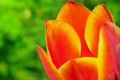 与水滴的红色郁金香 免版税库存图片
