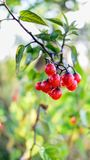 与水滴的红色野生莓果 图库摄影