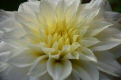 与水滴的美丽的白色庭院大丽花花在黑背景 宏观照片 库存图片