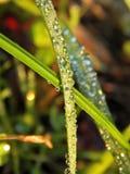 与水滴的草  免版税库存图片