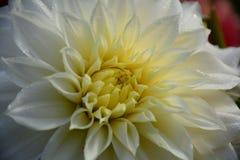 与水滴的豪华白色庭院大丽花花 库存照片