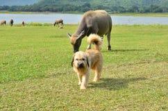 与水牛牧群的长的头发狗在绿草领域 免版税库存图片