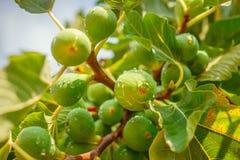 与水生长在绿色树特写镜头的小滴的无花果 免版税库存图片