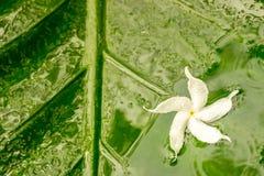 与水露水的白色茉莉花花在湿绿色的瓣离开背景 免版税库存照片