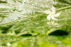 与水露水的白色茉莉花花在湿绿色的瓣离开背景 免版税图库摄影