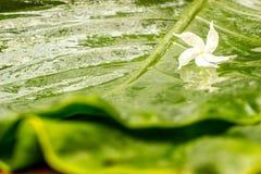 与水露水的白色茉莉花花在湿绿色的瓣离开背景 免版税库存图片