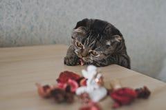 与求知欲的波斯猫在桌上看 免版税库存照片