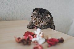与求知欲的波斯猫在桌上看 免版税图库摄影