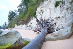 与沉淀石灰石峭壁的被连根拔的下落的树在与树的沙滩-西塔普尔,尼尔海岛,安达曼群岛,印度 库存照片