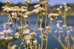 与沙子蓝色盐水湖的开花的雏菊在背景在Kersko旅游区挖掘在晴朗的夏日期间在2018年7月 免版税图库摄影