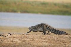与河田凫的鳄鱼 免版税库存图片