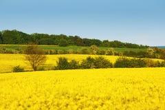 与油菜籽花和树的黄色领域在领域之间 在开花的强奸 免版税库存图片