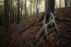 与沼泽根的树在被迷惑的森林里 库存图片