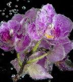 与泡影的兰花在黑背景关闭  库存图片