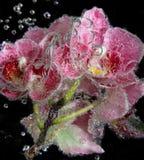 与泡影的兰花在黑背景关闭  库存照片