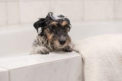 与泡沫的狗在浴,当沐浴在卫生间时 库存照片